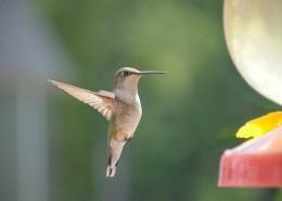 体态娇小的蜂鸟图片_12张