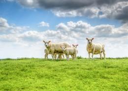 草地上的绵羊图片_12张