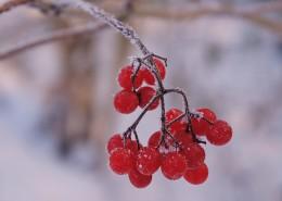 冬日的紅色漿果圖片_9張