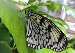 黑色斑點的蝴蝶圖片_13張