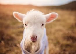 可爱的小绵羊图片_9张
