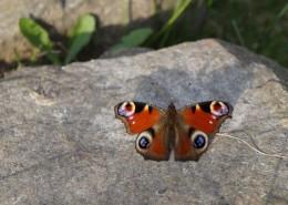 漂亮的孔雀蝴蝶圖片_14張