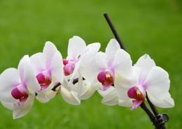 芬芳吐艷的蝴蝶蘭花圖片_12張