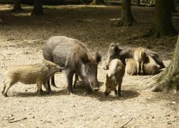 成群的野猪图片_11张