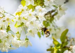 正在采花蜜的蜜蜂图片_12张