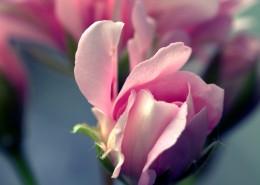 娇艳的粉色玫瑰花图片_13张