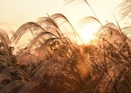 漂亮柔韌的蘆葦圖片_11張