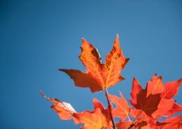 火紅楓葉的圖片_10張