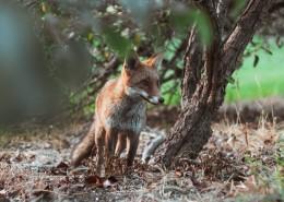可爱的野生狐狸的图片_10张