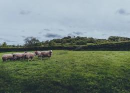 草原上的绵羊图片_16张