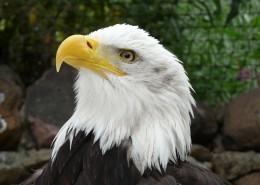 美国国鸟白头海雕头部图片_10张