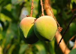 树枝上未成熟的芒果图片_13张