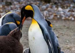 可愛的企鵝圖片_14張