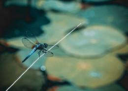 色彩斑斓的蜻蜓图片_11张