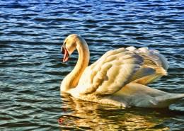 湖面上的白天鹅图片_10张