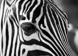 拥有黑白斑纹的斑马图片_10张