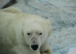 動物園中的北極熊圖片_12張