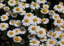 唯美洁白的小雏菊图片_13张