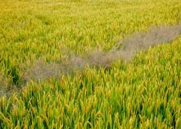 豐收的稻田圖片_11張