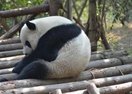 动物园里的国宝大熊猫图片_11张