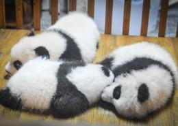 可爱呆萌的大熊猫图片_10张