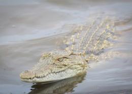 凶猛的鳄鱼图片_10张