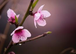 粉色的桃花图片_12张