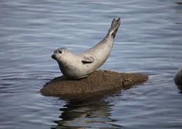 可爱呆萌的海狮图片_10张