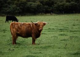 高原上的牦牛图片_11张