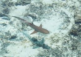 大海里的鯊魚圖片_10張