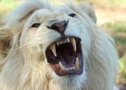 体格雄健的狮子图片_14张