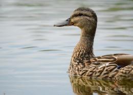水里的鴨子圖片_10張