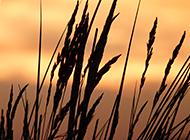 黄昏中的麦穗植物风景桌面壁纸