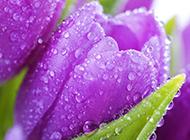 雨后郁金香浪漫自然植物风景美图