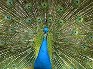 孔雀开屏超高清动物壁纸