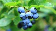 藍莓水果可愛清新風格圖片