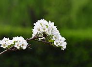 洁白的梨花唯美简约高清壁纸