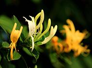 金银花个性精美高清宽屏壁纸