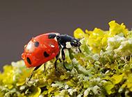 可爱小动物七星瓢虫高清壁纸