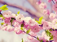 漂亮的日本樱花背景图片素材