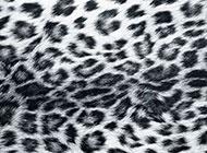 黑白色豹紋野性精美背景圖片