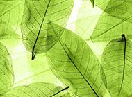 葉脈透明綠色背景圖片素材