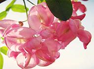 粉色浪漫槐花個性精美高清壁紙