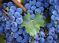 夏日清涼水果葡萄桌面壁紙