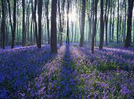 治愈系薰衣草紫色花海梦幻森林背景素材