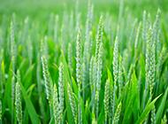 綠色的麥穗小清新背景圖片