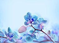 清新淡藍色蝴蝶蘭背景高清圖片