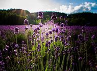 紫色薰衣草高清精美壁纸
