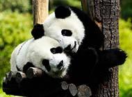 好看的经典壁纸图片可爱熊猫赏析
