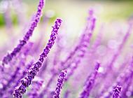 紫色薰衣草唯美花卉風景壁紙